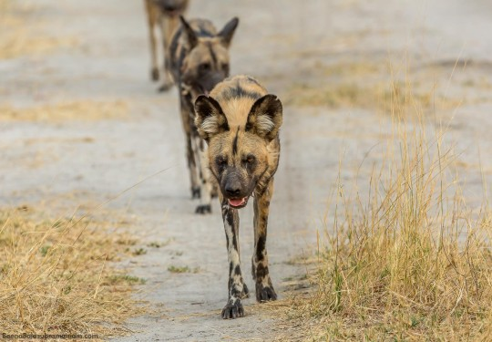 The African Wild Dog Pack  trotting off in a single file
