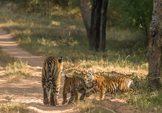 Lights, Shadows and Tiger Cubs