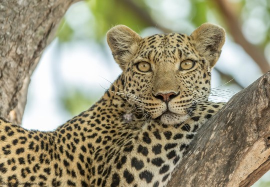A Cool Leopardess