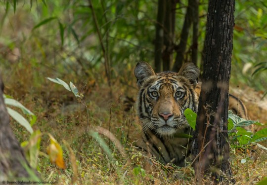 Curious cub - awaits her mother- Bandhavgarh National Park