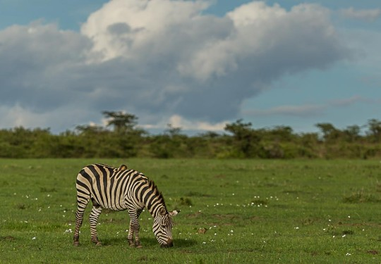 The Rich Savannah of the Masai Mara