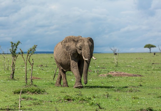Pachyderm - Elephant- of the Masai Mara -East African bush elephant or Masai elephant Loxodonta africana knochenhaueri