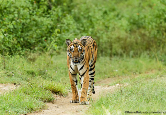 Back water tigress -Kabini 2017