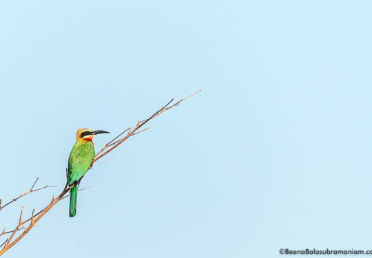The white-fronted bee-eater (Merops bullockoides)