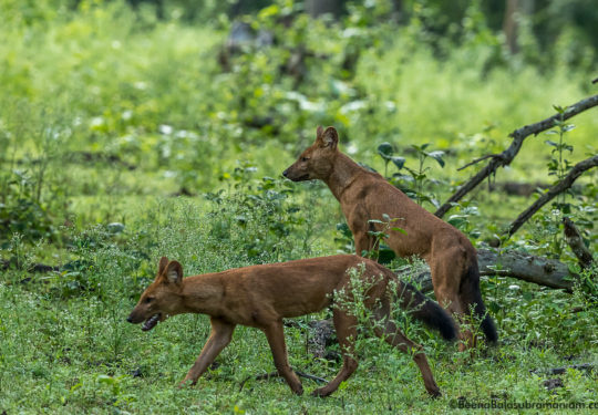 Kabini Pack of 14 July 2017