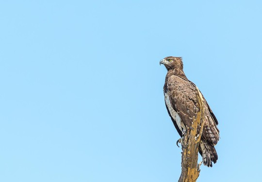 The Majestic  Martial Eagle