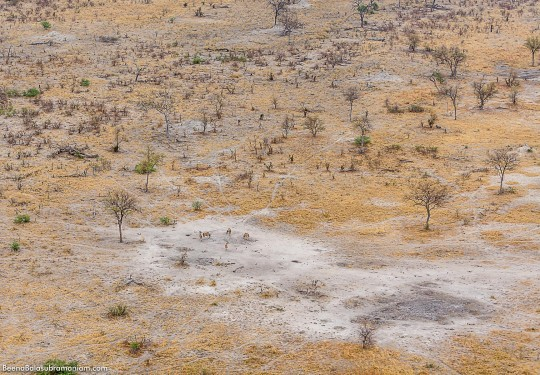Aerial view of a herd of Eland