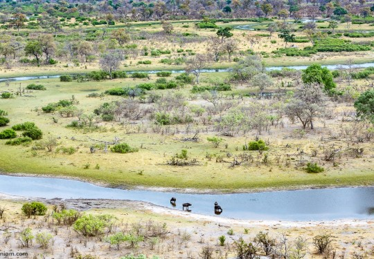 The Buffaloes in the Selinda spillway