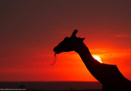 Giraffe against the setting sun
