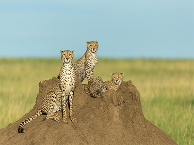 CHEETAHS OF TANZANIA SMALL
