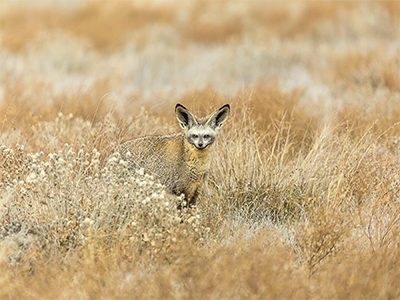 THE CUTE BAT EARED FOX SMALL