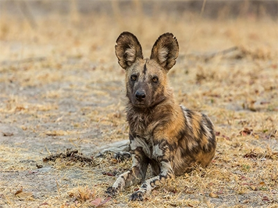 AFRICAN WILD DOG SMALL