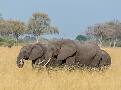 ELEPHANT FAMILY IN SEARCH OF WATER