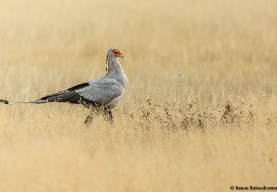The secretary bird - Sagittarius serpentarius