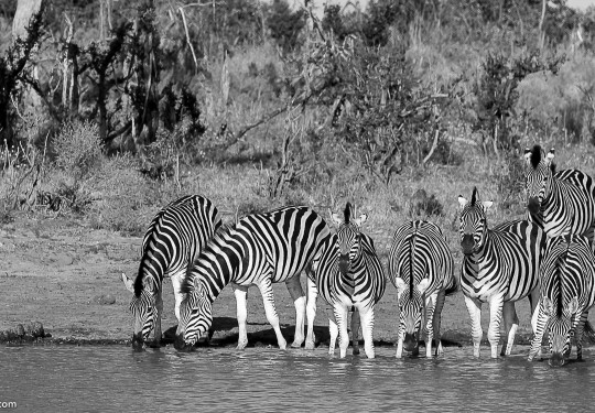 A dazzle of Zebras in a water hole
