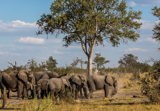 The Elephant herds of Botswana -The  Southern African bush elephant (Loxodonta africana)