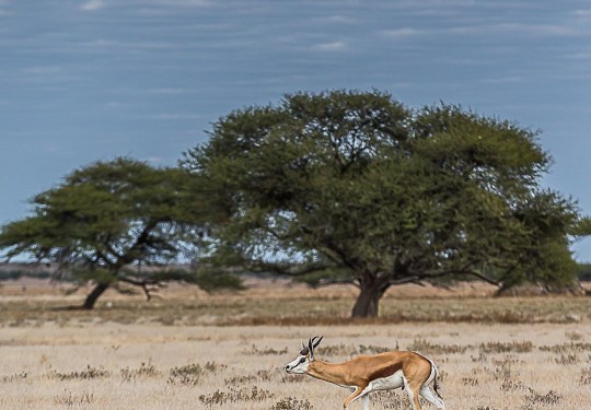 The windswept trees of the desert set the background for the pronking springboks