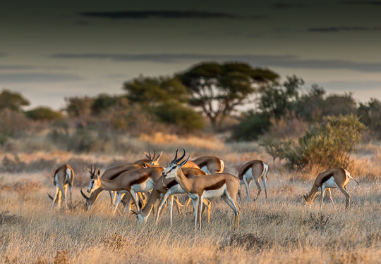 A herd of Springbok CKGR