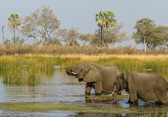 Elephants in the Okavango Channel