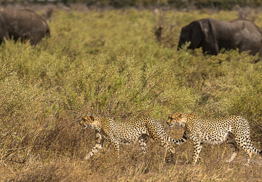 Cheetahs in the company of Elephants