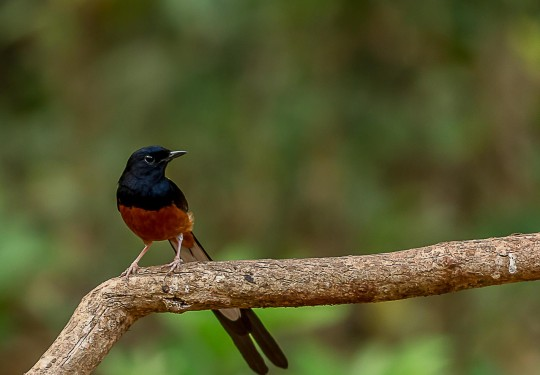 The white-rumped shama