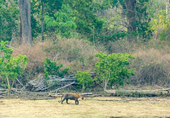 A Tigress walking through the dry lake of Nagarhole National Park