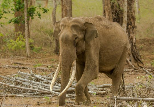 Tusker Backwaters Kabini Zone B -Elephas maximus indicus)