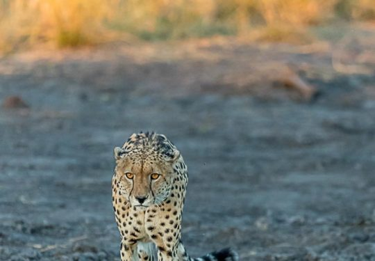 Kwando Male cheetah in golden light - Johnny Walker