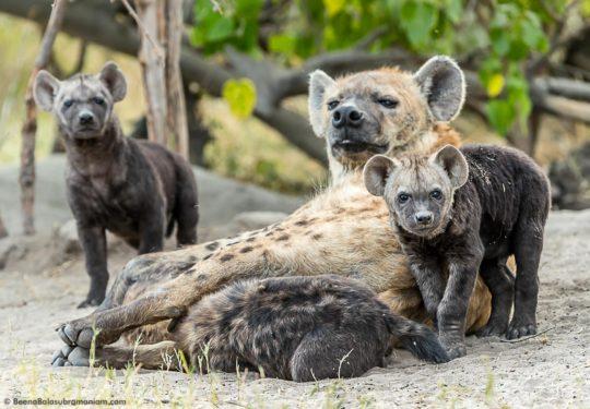 Hyena Family 2016
