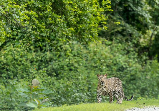 Male Leopard Kabini - Panthera Pardus Fusca
