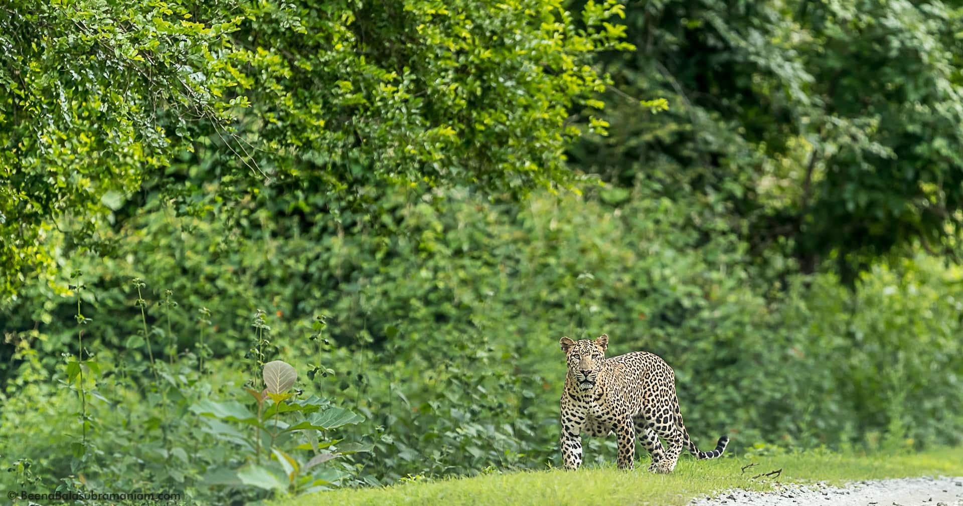 Panthera Pardus Fusca - The Indian Leopard photographed at Kabini