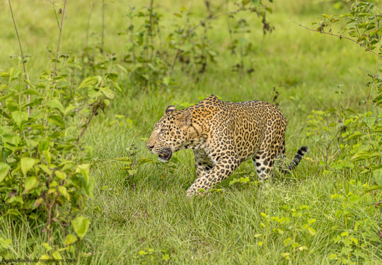 Temple Male - Kabini 2016 - Panthera Pardus Fusca