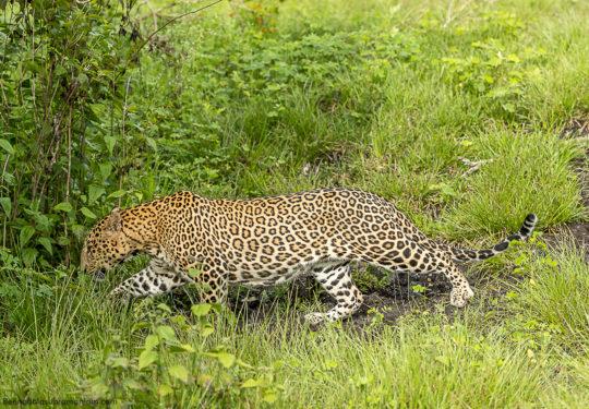 stealth - Panthera Pardus Fusca