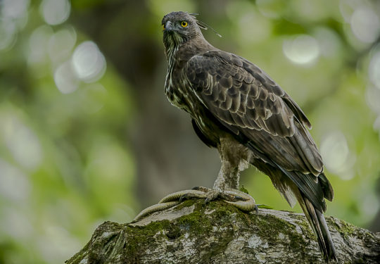 Crested Hawk Eagle with a rat snake