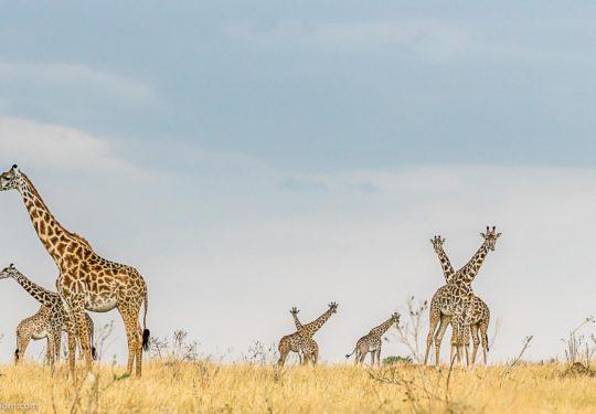 Giraffe panaroma