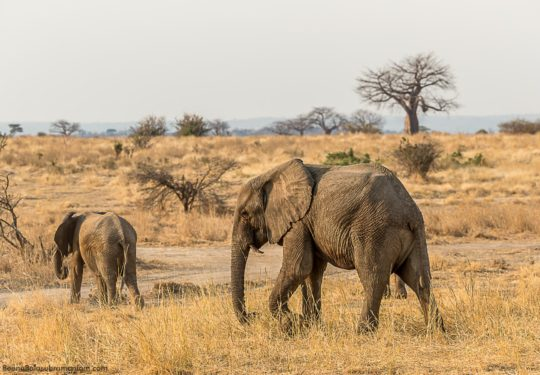 The elephants of Ruaha, with a baobab in the background.