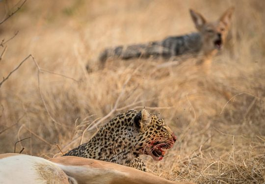 The young leopard hounded by jackals