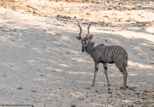 The elusive Lesser Kudu -Tragelaphus imberbis