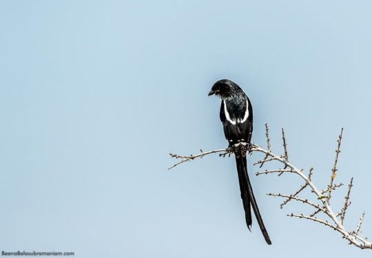 The magpie shrike - Urolestes melanoleucus