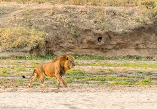 The Mwagusi pride male on the river bed Ruaha