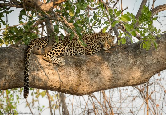 Leopardess on a tree Ruaha