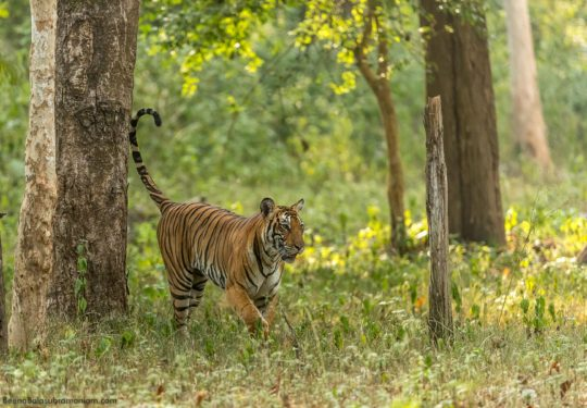 Territory marking - Back water tigress