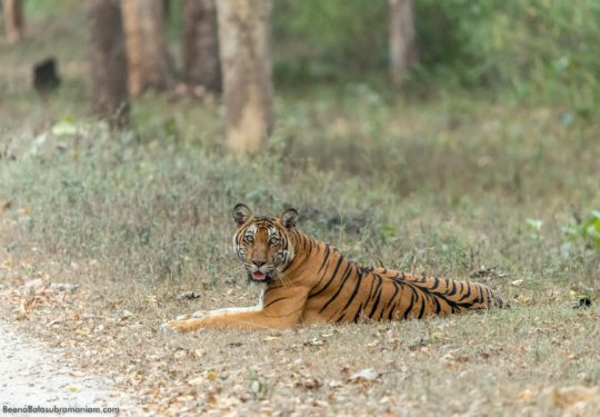 Tiger Tank Tigress on MM road Kabini