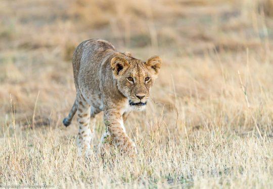 Curious cub
