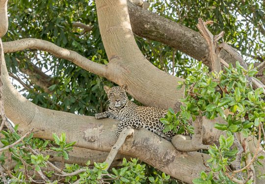 Leopard on a tree Serengeti National Park
