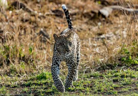 Leopard trotting off, Tanzania Serengeti  National Park