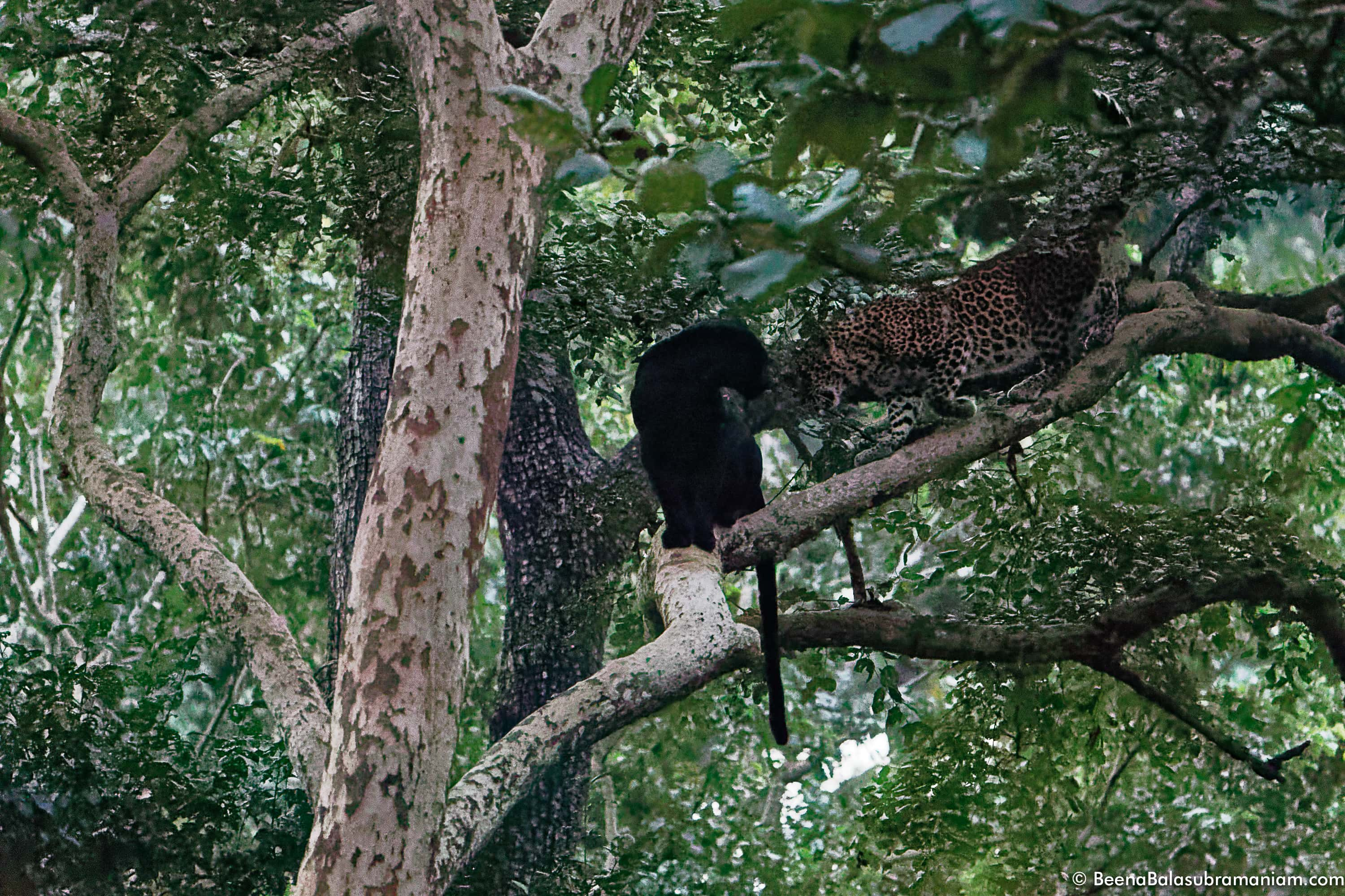 Melanistic leopard with his mate very high iso