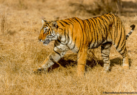 Arrowhead Ranthambore National Park 2016 December 23