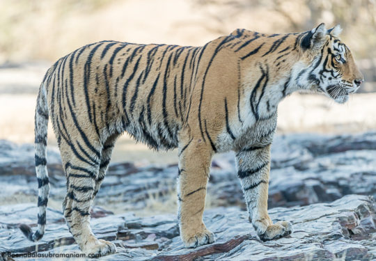 Arrowhead Ranthambore National Park 2016 December