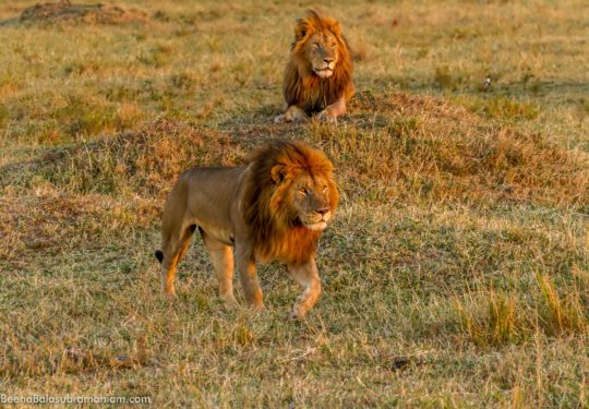 Males lions from the Mara 2013